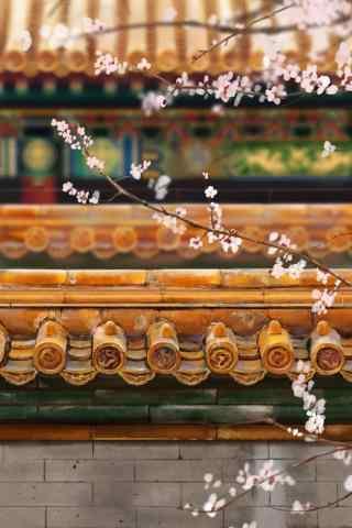 故宫庭院里的杏花手机壁纸