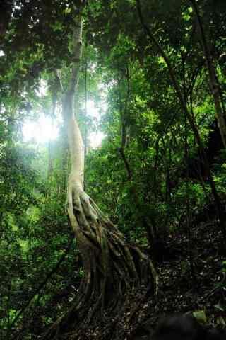 唯美的原始森林手机壁纸