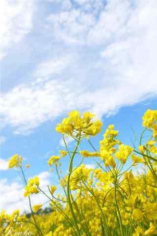 青海湖之油菜花风景手机壁纸