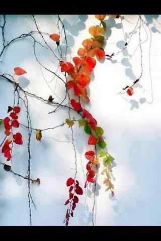 美麗的爬山虎(hu)風景手機壁紙