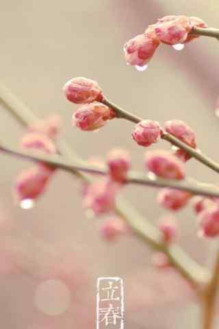 立春节气特色梅花图片手机壁纸