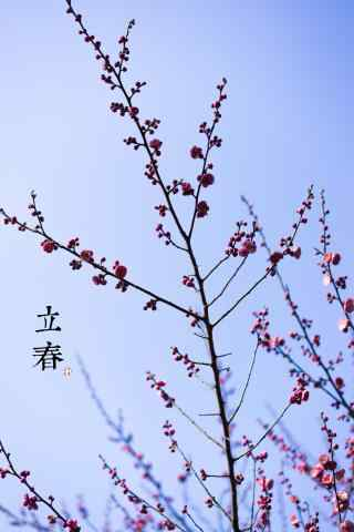 立春节气之盛开的梅花手机壁纸