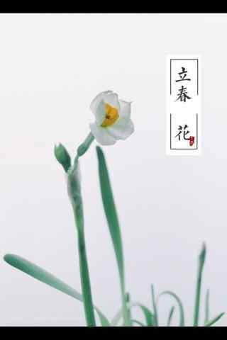 2017年立春图片之水仙花手机壁纸