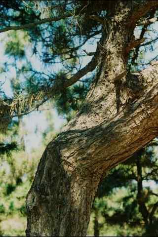 植树节—百年老树