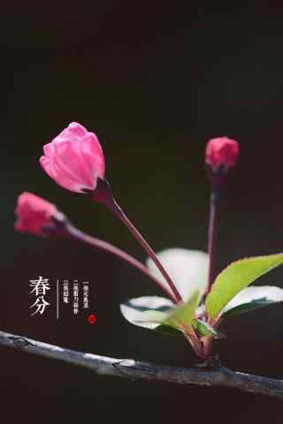 春分节气—春日开满鲜花枝桠手机壁纸