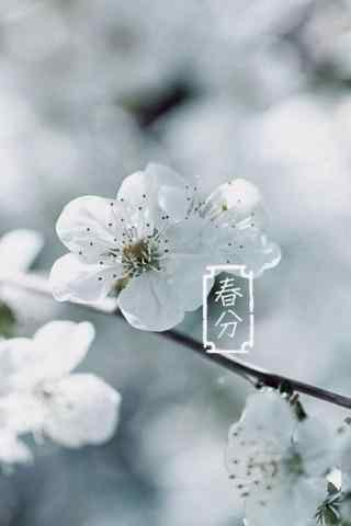 春分节气—春日里纯白色的樱花手机壁纸