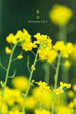 春分节气—春日里的油菜花手机壁纸