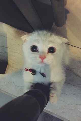 小苏格兰折耳猫卖萌手机壁纸