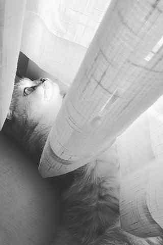 可爱苏格兰折耳猫躲猫猫手机壁纸