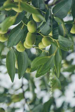 秋季养生水果之冬枣手机壁纸