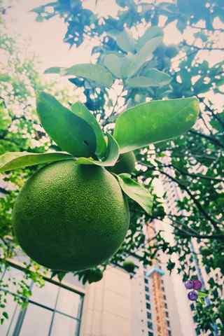 秋季养生之柚子手机壁纸