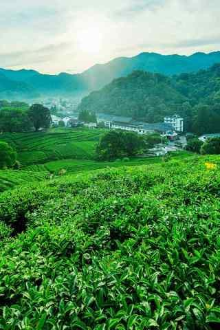茶文化—绿色茶叶田园手机壁纸