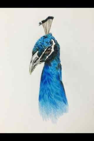 手绘蓝孔雀精神饱满手机壁纸