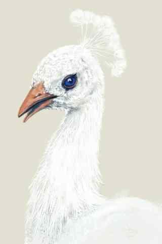 美丽的白孔雀公主手机壁纸