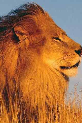 草原狮子特写手机壁纸
