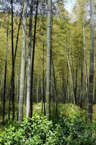 绿色护眼南山竹海的竹林手机壁纸