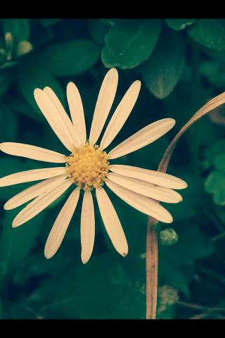 雏菊花唯美绿色护眼手机壁纸
