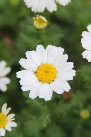 雏菊花白色雏菊特写桌面壁纸