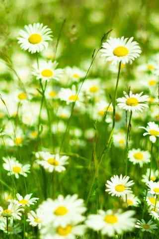 雏菊花漫山遍野的雏菊手机壁纸