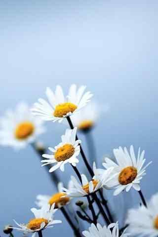 雏菊花白色唯美蓝天白云手机壁纸