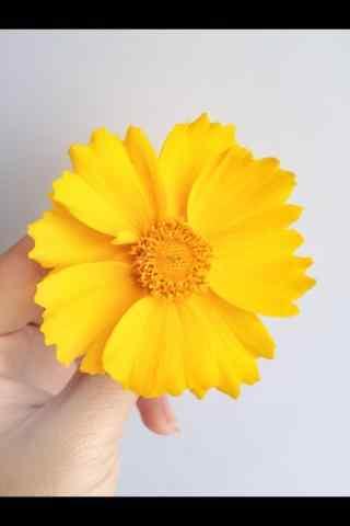 雏菊花黄色小雏菊花桌面壁纸