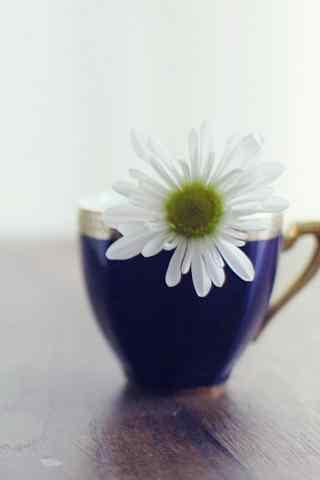 雏菊花唯美茶杯装饰雏菊手机壁纸