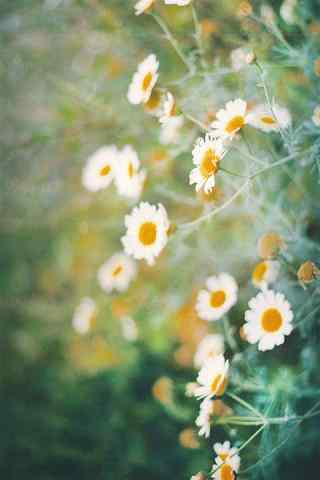 雏菊花绿色花团景簇手机壁纸