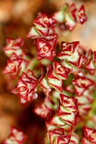 多肉植物红色娇艳欲滴手机壁纸