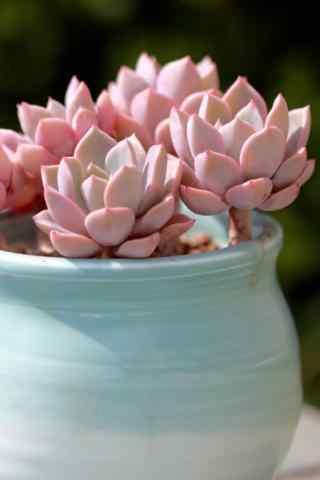 多肉植物梦露粉色可爱桌面壁纸