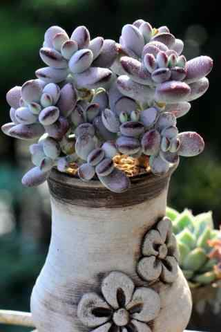 多肉植物盆栽紫色手机壁纸
