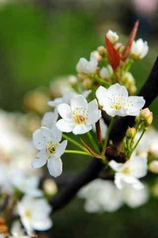 梨花纯白绿色护眼手机壁纸