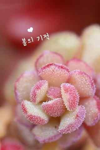 多肉植物粉色唯美手机壁纸