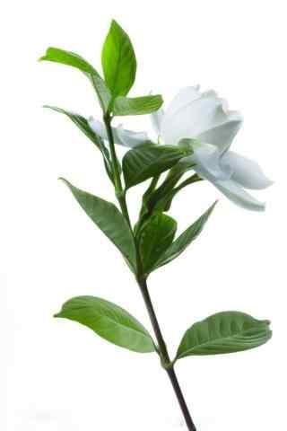 栀子花单株白色花朵手机壁纸