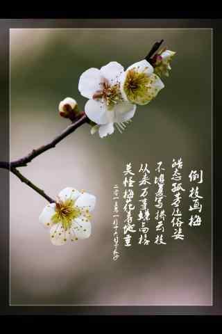 梅花白色纯洁的花朵手机壁纸