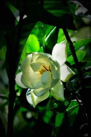 栀子花绿叶丛中一点白手机壁纸