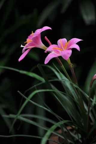 兰花粉色花卉娇艳欲滴手机壁纸