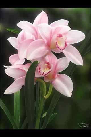 兰花粉红色花团景簇手机壁纸