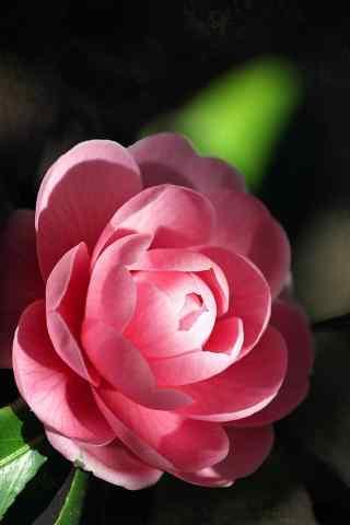 茶花清新怡然粉色光影斑驳手机壁纸