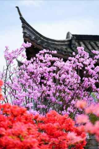 姹紫嫣红的美丽杜鹃花手机壁纸