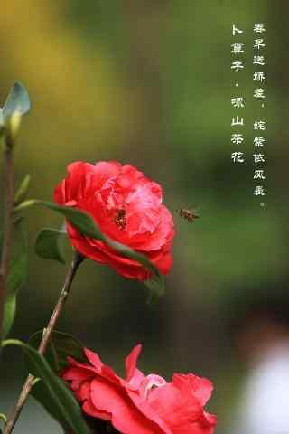 茶花唯美诗句优雅手机壁纸