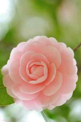 茶花肉粉色淡雅唯美手机壁纸