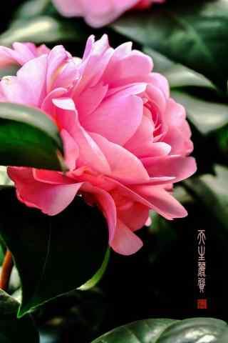 茶花唯美小清新粉色手机壁纸