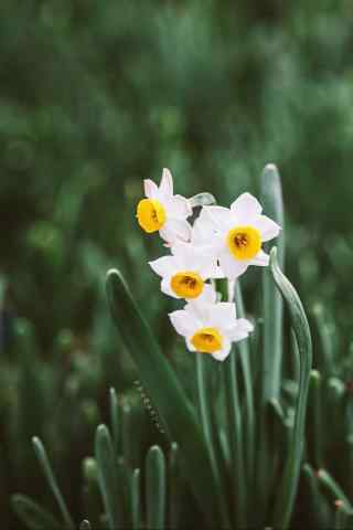水仙花唯美绿色护眼手机壁纸