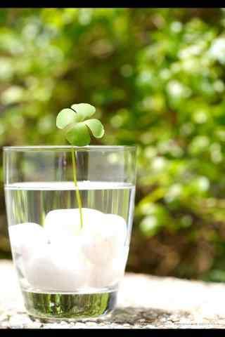 绿色小清新放在水中的四叶草手机壁纸