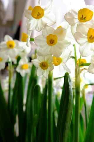 水仙花唯美意境小清新手机壁纸
