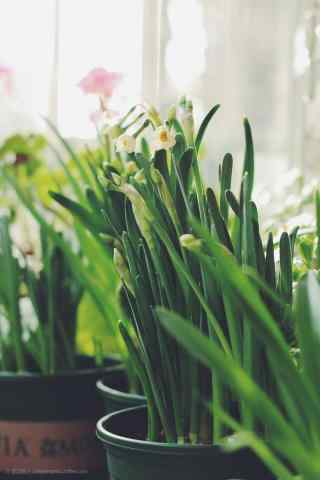 水仙花唯美意境小清新护眼手机壁纸