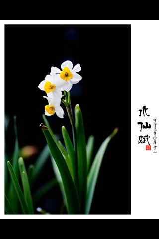 水仙花唯美意境淡雅手机壁纸
