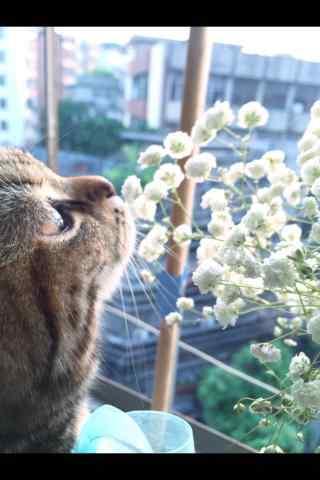 可爱的小猫与美丽的满天星手机壁纸