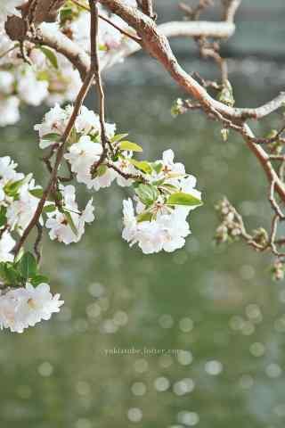 粉白色的美丽海棠花手机壁纸(3张)