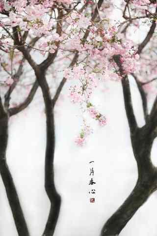 文艺的海棠花手机壁纸(5张)